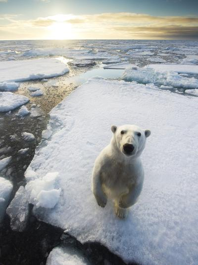 Polar Bear (Ursus Maritimus) Standing on Ice Floe, Looking at Camera. Svalbard, Norway. August-Ole Jorgen Liodden-Photographic Print