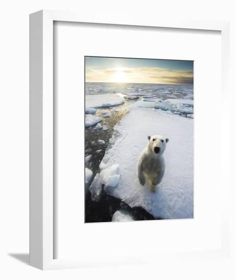 Polar Bear (Ursus Maritimus) Standing on Ice Floe, Looking at Camera. Svalbard, Norway. August-Ole Jorgen Liodden-Framed Photographic Print