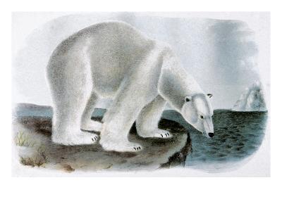 Polar Bear (Ursus Maritimus)-John James Audubon-Giclee Print