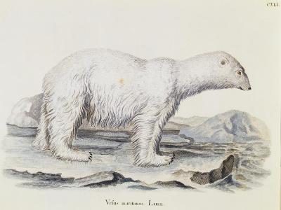 Polar Bear (Ursus Maritimus)--Giclee Print