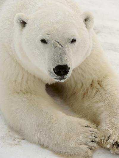 Polar bear (Ursus maritimus)-Don Johnston-Photographic Print