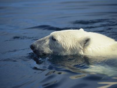 Polar Bear, Wager Bay, Northwest Territories, Canada-Joe Stancampiano-Photographic Print