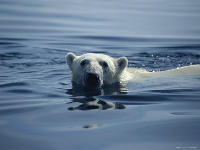 Polar Bear, Wager Bay, Northwest Territories, Canada--Photographic Print