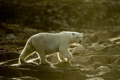 Polar Bear Walking along Hudson Bay, Nunavut, Canada-Paul Souders-Photographic Print
