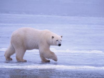 Polar Bear Walking on Ice-DLILLC-Photographic Print