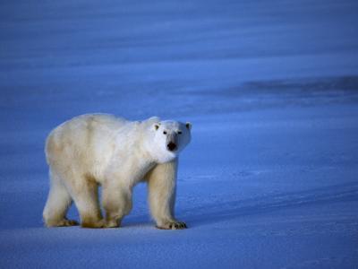 Polar Bear Walking on Sea Ice-Jeff Foott-Photographic Print