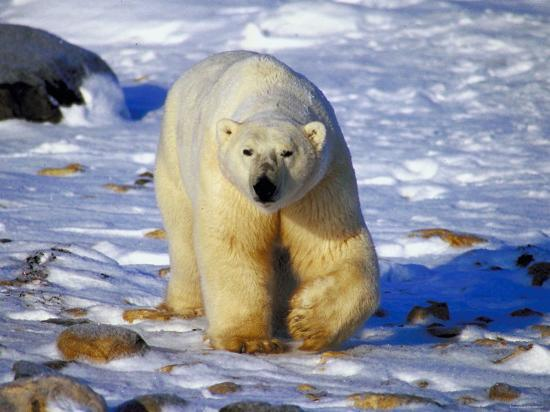 Polar Bear Walking on Snow Covered Surface--Photographic Print