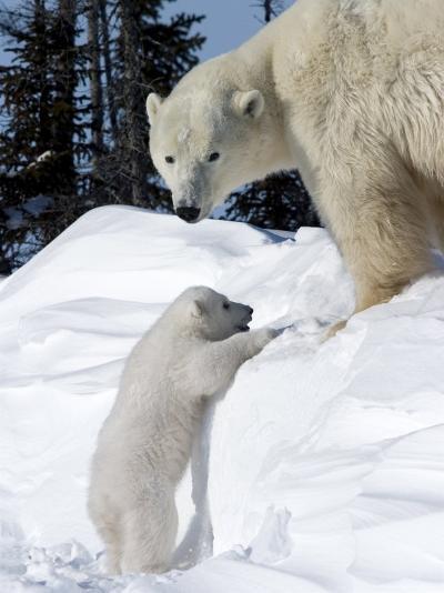 Polar Bear with a Cub, (Ursus Maritimus), Churchill, Manitoba, Canada-Thorsten Milse-Photographic Print