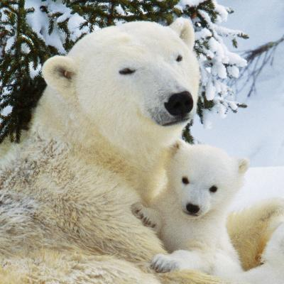 Polar Bear with Cub--Photographic Print