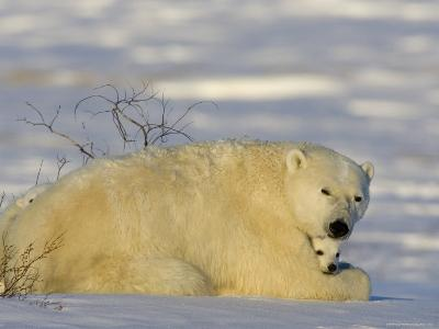 Polar Bear with Cubs, (Ursus Maritimus), Churchill, Manitoba, Canada-Thorsten Milse-Photographic Print