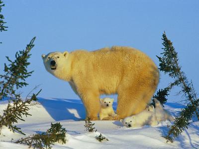 Polar Bear with Cubs-Norbert Rosing-Photographic Print
