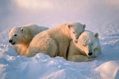 Polar Bear with Her Cubs-outdoorsman-Photographic Print