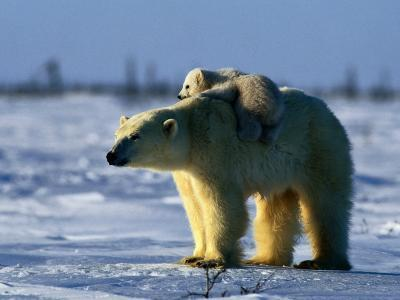 Polar Bear with Her Young-Norbert Rosing-Photographic Print