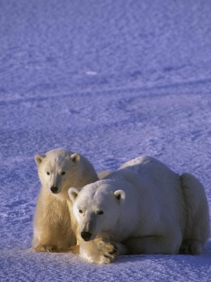 Polar Bear with its First-Year Cub (Ursus Maritimus), North America-Tom Walker-Photographic Print