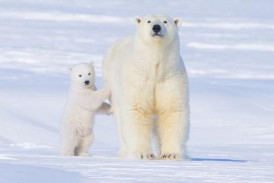 Polar Bear with Spring Cub, ANWR, Alaska, USA-Steve Kazlowski-Photographic Print