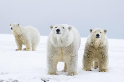Polar Bear with Two 2-Year-Old Cubs, Bernard Spit, ANWR, Alaska, USA-Steve Kazlowski-Photographic Print