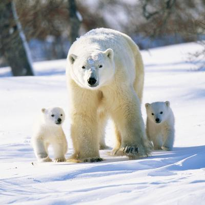 Polar Bear with Two Cubs--Photographic Print