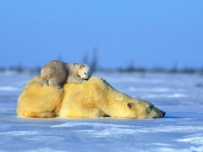 Polar Bear with Young-Norbert Rosing-Photographic Print