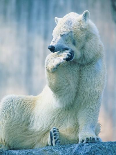 Polar bear yawning in zoo enclosure-Herbert Kehrer-Photographic Print