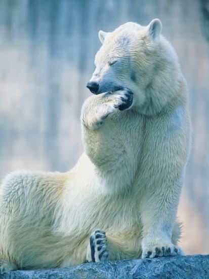 Polar bear yawning in zoo enclosure-Herbert Kehrer-Photographic Print