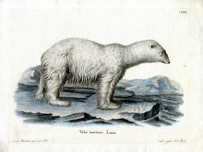 Polar Bear--Giclee Print