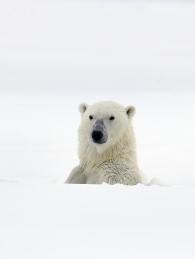Polar Bear-Louise Murray-Photographic Print