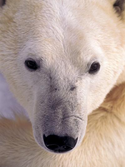 Polar bear-Kevin Schafer-Photographic Print