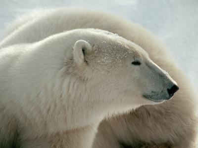 Polar Bear-George Lepp-Photographic Print