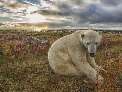 Polar Bear--Photographic Print