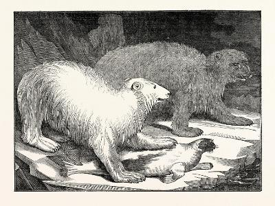 Polar Bears and Seal--Giclee Print