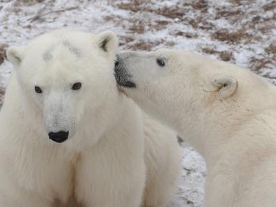 Polar Bears, Churchill, Manitoba-Keith Levit-Photographic Print