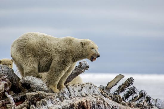 Polar Bears Feed on a Whale Carcass in Kaktovik, Alaska-Cristina Mittermeier-Photographic Print
