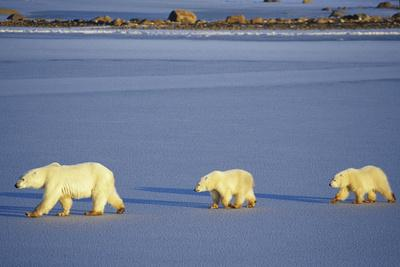 Polar Bears Female with 2 Cubs Walking on Frozen Pond, Churchill, Manitoba, Canada-Richard and Susan Day-Photographic Print