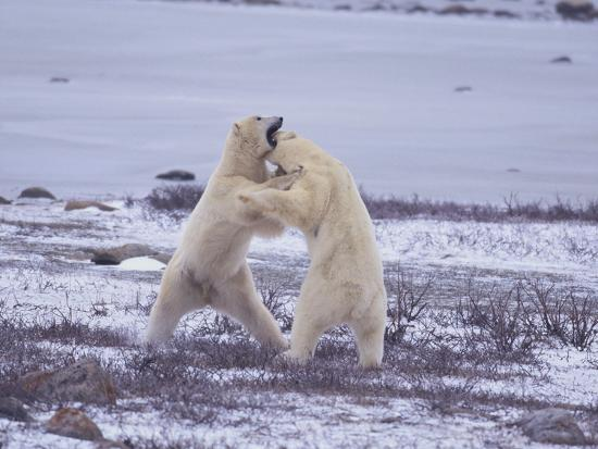 Polar Bears Fighting-DLILLC-Photographic Print