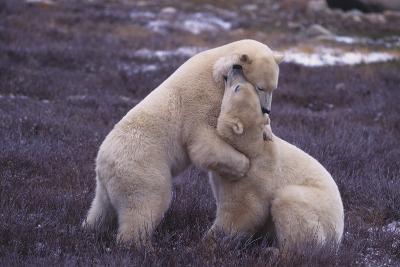 Polar Bears Hugging-DLILLC-Photographic Print