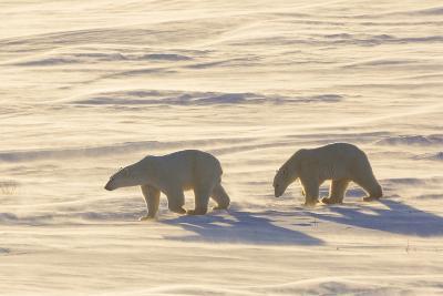 Polar Bears in Cape Churchill Wapusk National Park, Churchill, Manitoba, Canada-Richard and Susan Day-Photographic Print