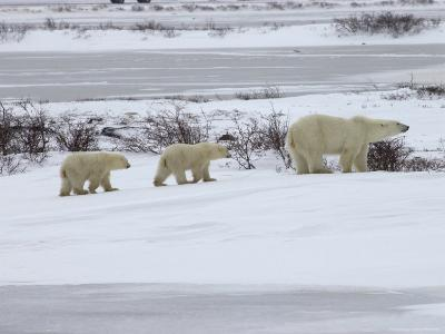 Polar Bears in Churchill, Manitoba-Keith Levit-Photographic Print