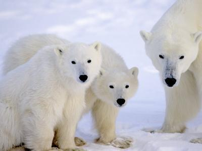 Polar Bears, Mother and Young, Manitoba, Canada-Daniel J. Cox-Photographic Print