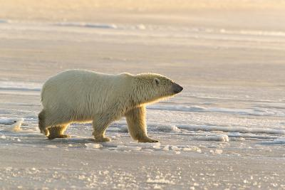 Polar Bears Near Kaktovic, Alaska-Howie Garber-Photographic Print
