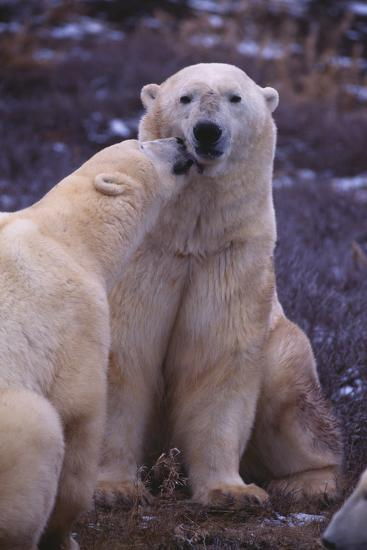 Polar Bears Nuzzling-DLILLC-Photographic Print