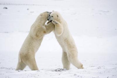 Polar Bears on Hind Feet Play Fighting at Churchill, Manitoba, Canada-Design Pics Inc-Photographic Print