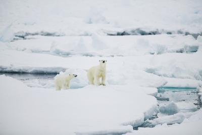 Polar Bears on Sea Ice-DLILLC-Photographic Print