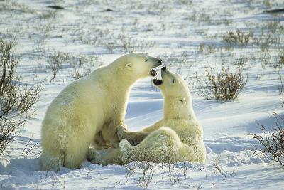 Polar Bears Sparring, Churchill, Manitoba, Canada-Richard and Susan Day-Photographic Print