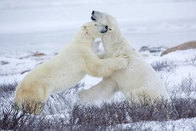 Polar Bears Sparring in Churchill Wildlife Management Area, Churchill, Manitoba, Canada-Richard and Susan Day-Photographic Print