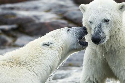Polar Bears Sparring on Harbour Islands, Hudson Bay, Nunavut, Canada-Paul Souders-Photographic Print