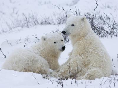 Polar Bears (Ursus Maritimus), Churchill, Hudson Bay, Manitoba, Canada-Thorsten Milse-Photographic Print
