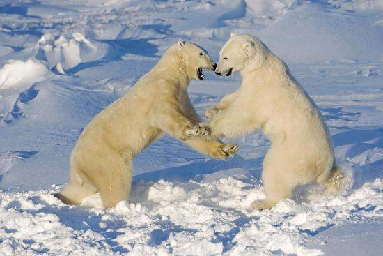 Polar Bears Wrestling and Play Fighting at Churchill, Manitoba, Canada-Design Pics Inc-Photographic Print
