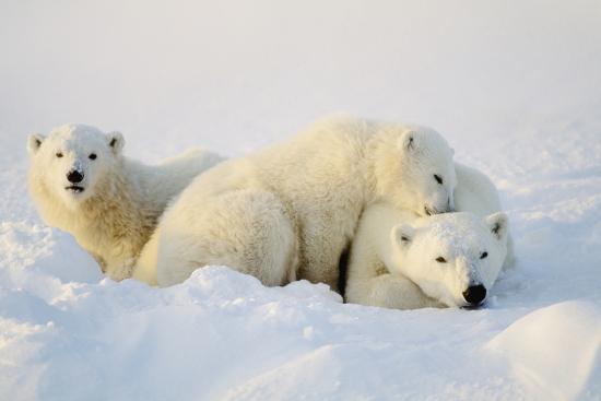 Polar Bears--Photographic Print