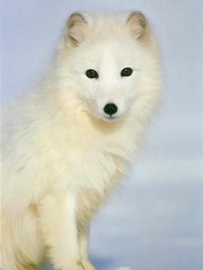 Polar fox sitting in the snow-Theo Allofs-Photographic Print