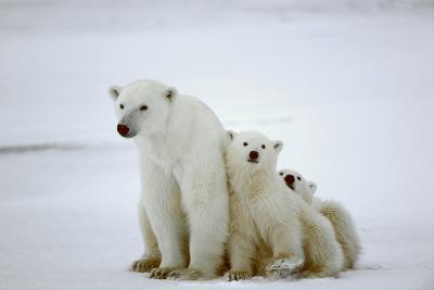 Polar She-Bear With Cubs-SURZ-Photographic Print